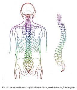 背中の骨格
