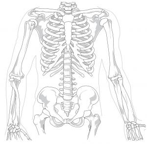 肩甲骨は肋骨・背骨と繋がる