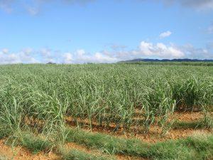砂糖の成分はさとうきび畑から